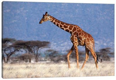 Giraffe Reticulated Male Kenya Canvas Art Print