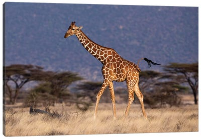 Giraffe Reticulated Waving Tail Canvas Art Print
