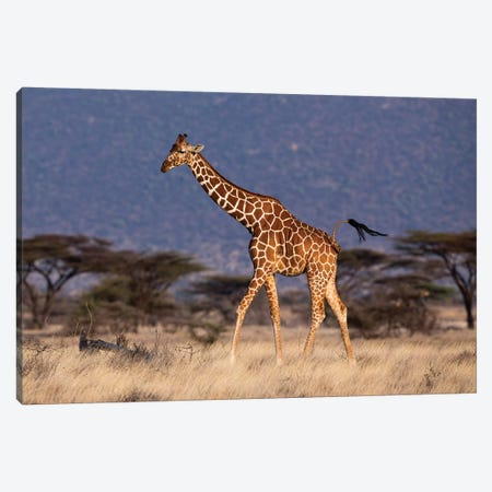 Giraffe Reticulated Waving Tail Canvas Print #MOG44} by Mogens Trolle Canvas Art