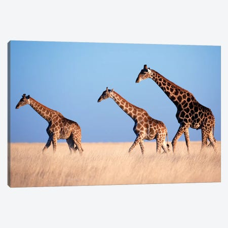 Giraffe Trio Crossing Plain Canvas Print #MOG46} by Mogens Trolle Canvas Wall Art