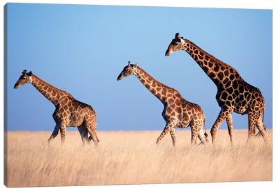 Giraffe Trio Crossing Plain Canvas Art Print