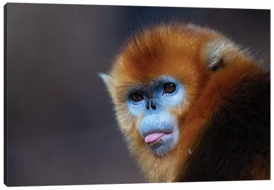 Golden Snub Nosed Monkey Canvas Art Print