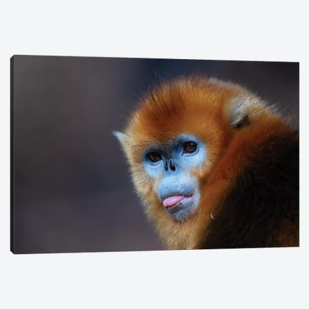 Golden Snub Nosed Monkey Canvas Print #MOG47} by Mogens Trolle Canvas Artwork