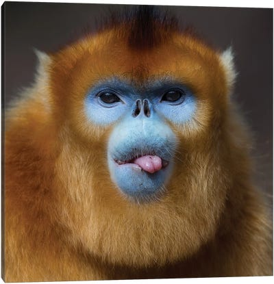 Golden Snub Nosed Monkey Cheeky Canvas Art Print