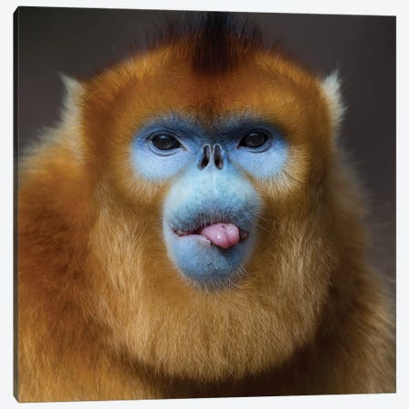 Golden Snub Nosed Monkey Cheeky Canvas Print #MOG48} by Mogens Trolle Canvas Print