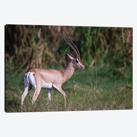 Grants Gazelle Kenya Canvas Print #MOG49} by Mogens Trolle Canvas Art Print