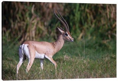 Grants Gazelle Kenya Canvas Art Print