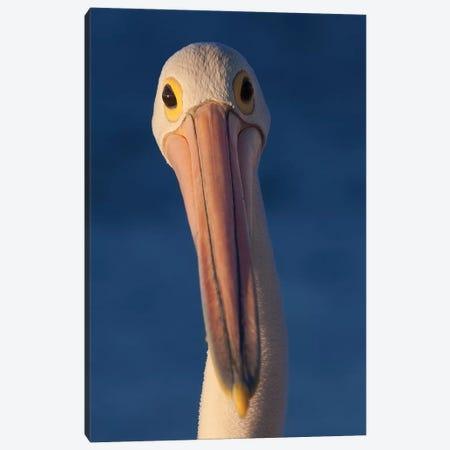 Australian Pelican Canvas Print #MOG4} by Mogens Trolle Canvas Art Print