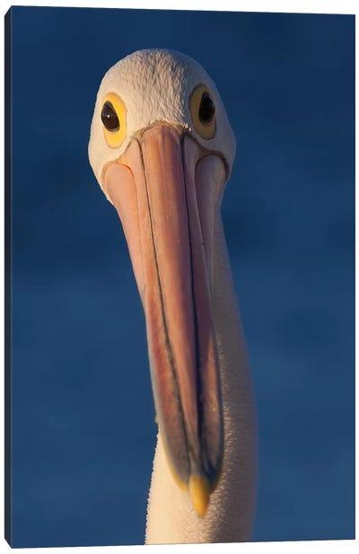 Australian Pelican Canvas Art Print