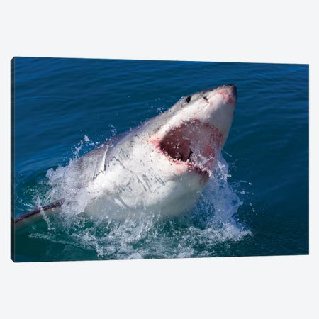 Great White Shark Canvas Print #MOG50} by Mogens Trolle Canvas Wall Art