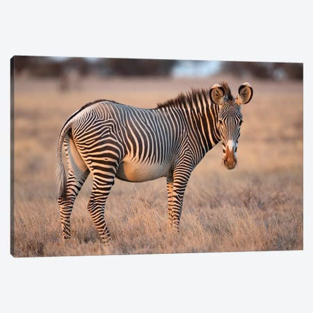 Grevy Zebra Canvas Print #MOG51} by Mogens Trolle Canvas Wall Art