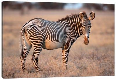Grevy Zebra Canvas Art Print