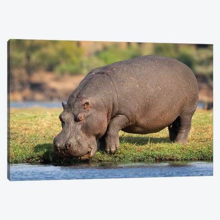 Hippopotamus Botswana Canvas Print #MOG53} by Mogens Trolle Canvas Art