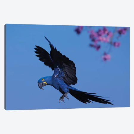 Hyacinth Macaw Flying Pink Flowers Canvas Print #MOG55} by Mogens Trolle Canvas Print