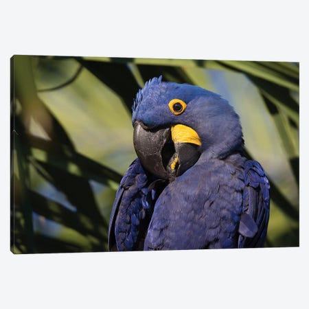 Hyacinth Macaw Portrait Canvas Print #MOG56} by Mogens Trolle Art Print