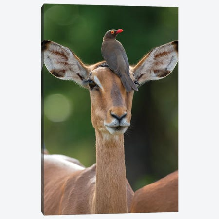 Impala And Oxpecker Canvas Print #MOG57} by Mogens Trolle Canvas Art Print