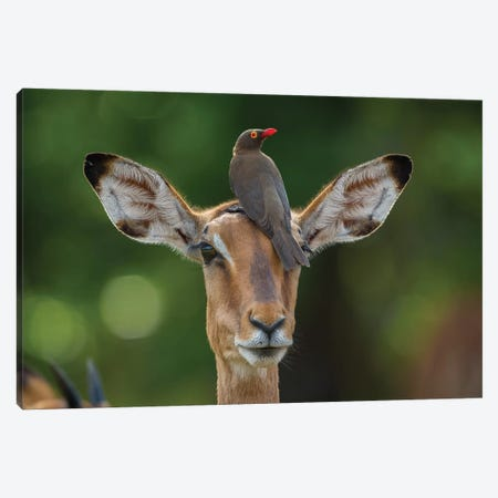 Impala And Oxpecker Horizontal Canvas Print #MOG58} by Mogens Trolle Canvas Art