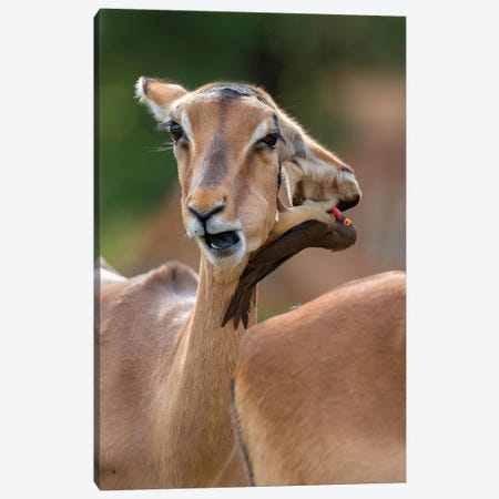 Impala Two Headed Canvas Print #MOG59} by Mogens Trolle Canvas Artwork