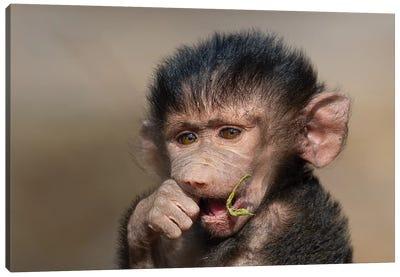 Baboon Baby I Canvas Art Print