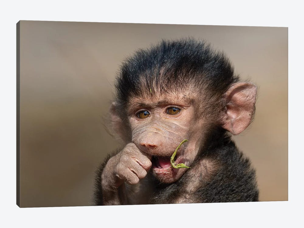 Baboon Baby I by Mogens Trolle 1-piece Canvas Wall Art