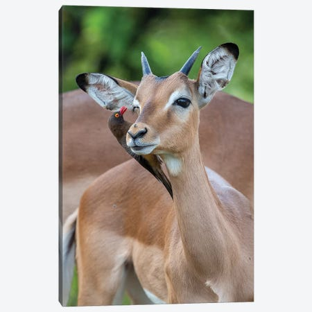 Impala Young Male And Oxpecker Canvas Print #MOG60} by Mogens Trolle Art Print