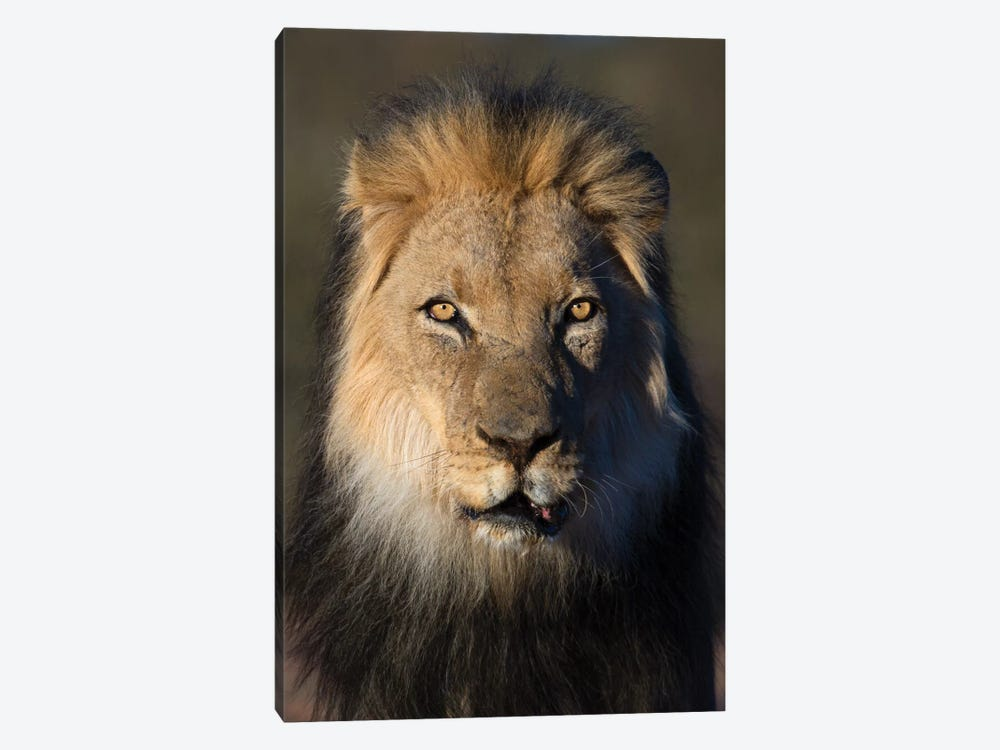 Lion Black Maned by Mogens Trolle 1-piece Canvas Artwork