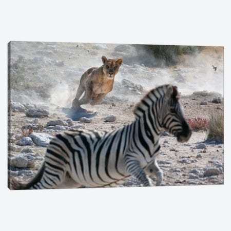 Lion Hunting Zebra Canvas Print #MOG67} by Mogens Trolle Canvas Art