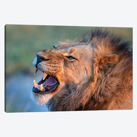 Lion Male Showing Teeth Canvas Print #MOG68} by Mogens Trolle Canvas Print