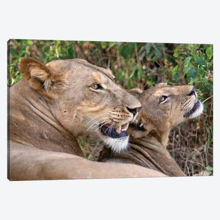 Lion Mother And Cub Samburu Canvas Print #MOG69} by Mogens Trolle Canvas Art Print
