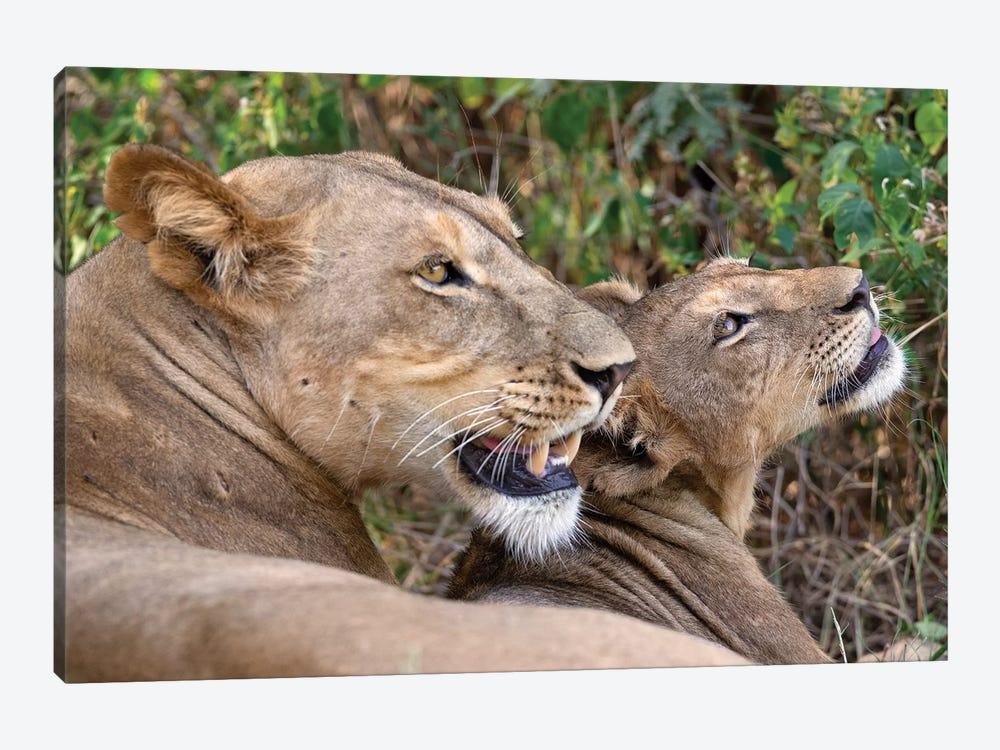 Lion Mother And Cub Samburu by Mogens Trolle 1-piece Canvas Wall Art
