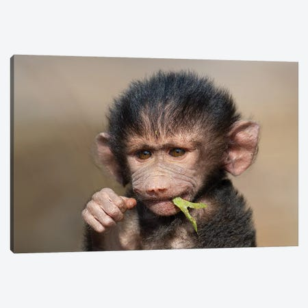 Baboon Baby II Canvas Print #MOG6} by Mogens Trolle Canvas Art Print