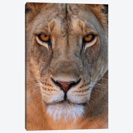 Lioness Eye Contact Kenya Canvas Print #MOG70} by Mogens Trolle Canvas Artwork