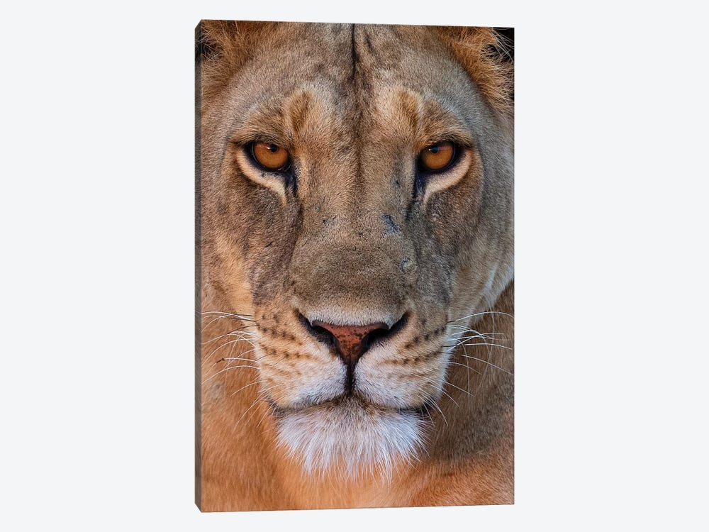 Lioness Eye Contact Kenya by Mogens Trolle 1-piece Canvas Artwork