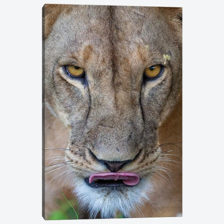 Lioness Intense Eyes Kenya Canvas Print #MOG71} by Mogens Trolle Canvas Art
