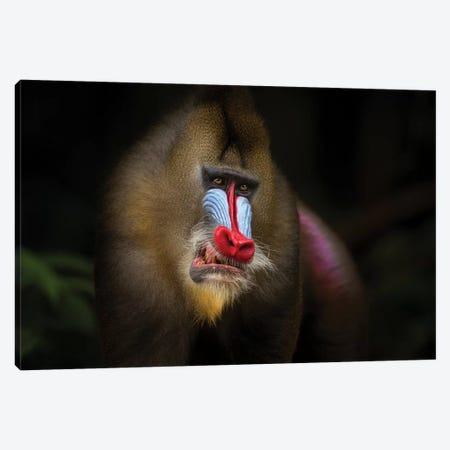 Mandrill In The Jungle Canvas Print #MOG73} by Mogens Trolle Canvas Artwork