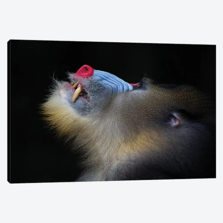 Mandrill Looking Up Canvas Print #MOG74} by Mogens Trolle Art Print