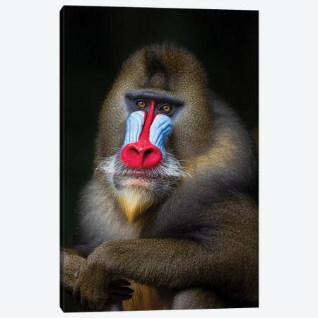 Mandrill Posing2 Canvas Print #MOG76} by Mogens Trolle Canvas Print