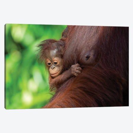 Orangutan Baby Hanging On Mother Canvas Print #MOG80} by Mogens Trolle Art Print