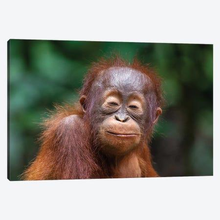 Orangutan Baby Smiling Closed Eyes Canvas Print #MOG81} by Mogens Trolle Canvas Art Print