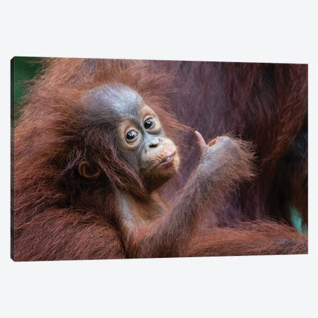 Orangutan Baby Thumbs Up Canvas Print #MOG82} by Mogens Trolle Canvas Print