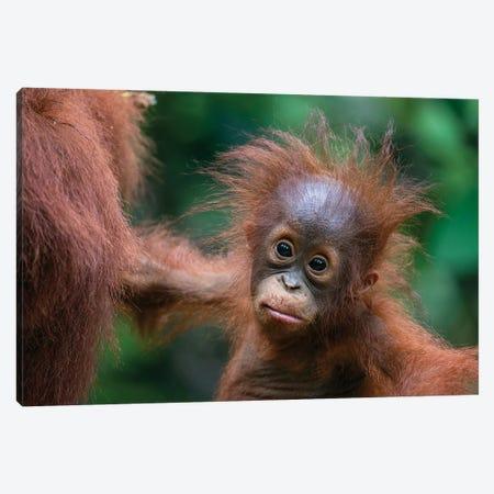 Orangutan Baby Wild Hair Day Canvas Print #MOG83} by Mogens Trolle Canvas Art Print