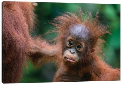 Orangutan Baby Wild Hair Day Canvas Art Print
