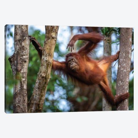 Orangutan Climbing Borneo Canvas Print #MOG84} by Mogens Trolle Canvas Art