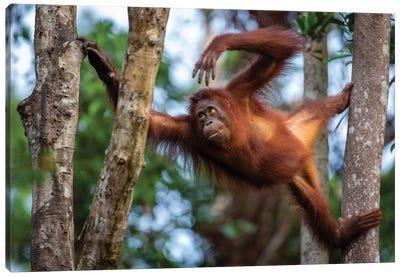 Orangutan Climbing Borneo Canvas Art Print