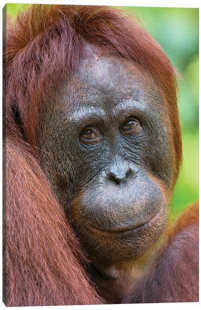 Orangutan Female Friendly Face Borneo by Mogens Trolle Canvas Art Print
