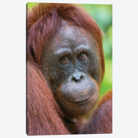 Orangutan Female Friendly Face Borneo Canvas Print #MOG85} by Mogens Trolle Canvas Art