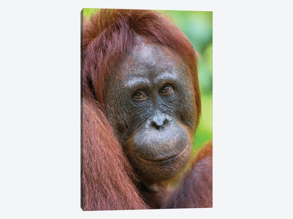 Orangutan Female Friendly Face Borneo by Mogens Trolle 1-piece Canvas Wall Art