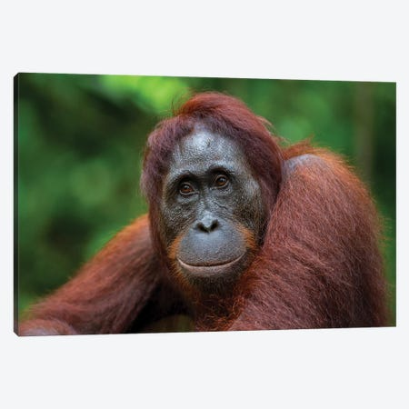 Orangutan Female Smile Borneo Canvas Print #MOG86} by Mogens Trolle Canvas Artwork