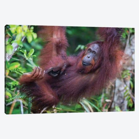 Orangutan Hanging Out Borneo Canvas Print #MOG87} by Mogens Trolle Canvas Artwork