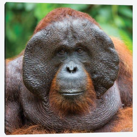 Orangutan Male Portrait Borneo Canvas Print #MOG88} by Mogens Trolle Art Print